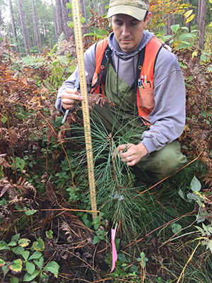 Ponderosa pine growth in transition treatment; Photo Credit: Josh Kragthorpe, Northern Research Station