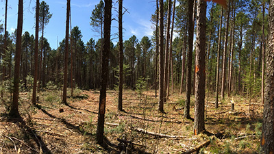 Resilience treatment post-harvest. Photo Credit: Brian Palik, USDA Forest Service, Northern Research Station