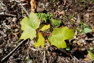 maple seedling
